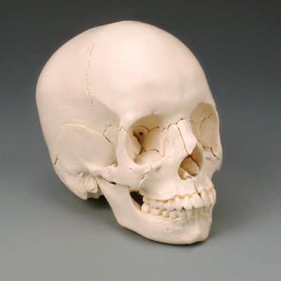 anatchart,model,skull,dissectable,pieces,parts,occipital,sphenoid,ethmoid,vomer,mandible,parietal,temporal,palantine,nasal concha,maxilla,teeth,lacrimal,zygomatic,nasal,colored,labeled,