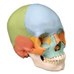 anatchart,model,skull,color-coded,occipital,sphenoid,ethmoid,vomer,mandible,parietal,temporal,palatine,nasal,concha,maxilla,teeth,lacrimal,zygomatic,bones