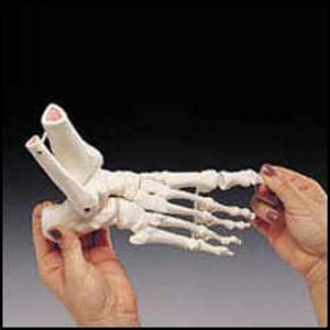 anatchart,model,foot,bones,tibia,fibula,ankle,toe