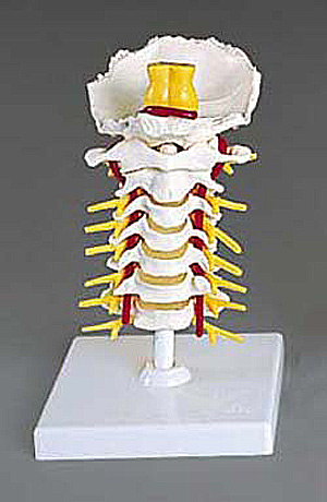 anatchart,model,cervical,vertebral,column,flexible,vertebrae,normal,intervertebral,discs,spinal,spine,neck,cord,medulla,pons,cerebral,peduncle,nerve,branches,3B,Scientific,GmbH