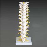 anatchart,model,spine.thoracic,vertebral,vertebrae,vertebra,column,intervertebral,disc