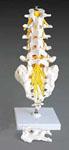 anatchart,model,spine,lumbar,column,disc,vertebra,vertebrae,coccyx,sacrum,removeable,cutaway,intervertebral,nerve