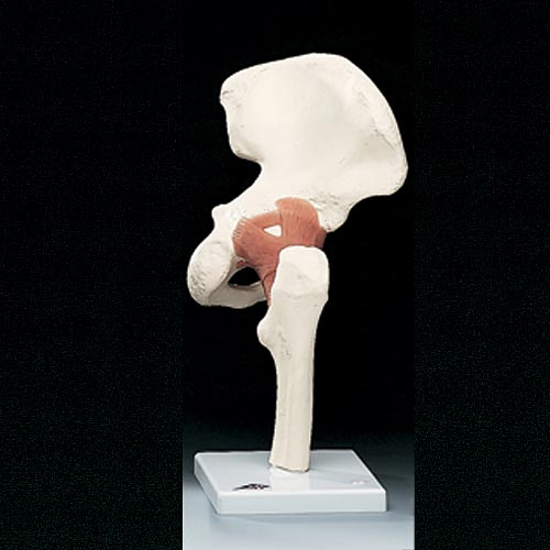 anatchart,model,hip,joint,sacrum,pelvis,femur,abduction,anteversion,retroversion,rotation