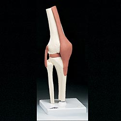 anatchart,model,knee,joint,muscle,tendon,cartilage,femur,tibia,fibula,ligament,funtional