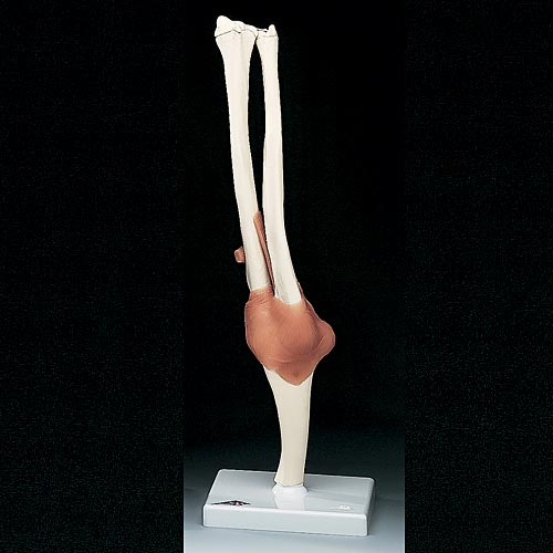 anatchart,model,elbow,joint,humerus,radius,ulna,flexion,extension,roation,ligament,arm