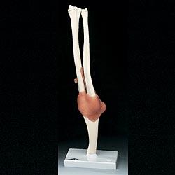anatchart,model,elbow,joint,humerus,radius,ulna,flexion,extension,roation,ligament,arm