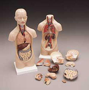 anatchart,model,sexless,torso,dissectable,head,brain,lungs,heart,liver,gallbladder,stomach,intestines,dissect,veins,artery