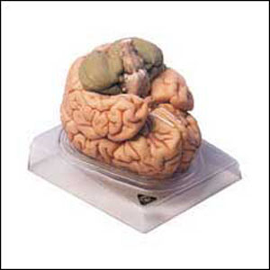 anatchart,model,brain,cerebral,occipital,termporal,lobes,cerebellum,parts,dissectable,parts