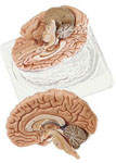 anatchart,model,brain,cerebral,occipital,termporal,lobes,cerebellum,parts,brain-stem