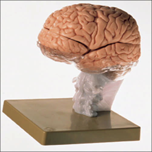 anatchart,model,brain,skull,cerebral,occipital,termporal,lobes,cerebellum,limbic,striatum,ventricles