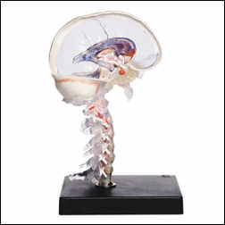anatchart,model,brain,transparent,skull,cervical,spinal-cord,vertebral artery,cortex,spheniod,brain-stem,insular-cortex,capsularinterna,corpus-callosuem,fornix,limbic-system,ventricle-system,cerebellum