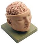 anatchart,model,head,brain,artery,nerves,cranial,removable,lobes,cerebellum,medulla,face,parts,basilar,parital,occipital