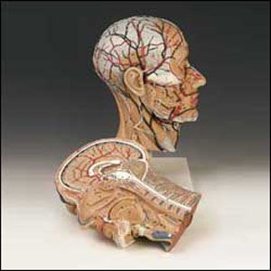 anatchart,model,head,face,half,section,neck,muscle,skull,nervous,pharynx,mouth,nerves,vascular,ear,nose,brain,spine
