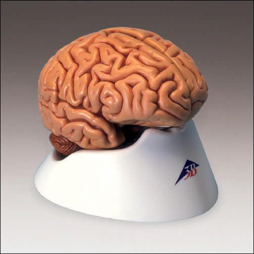 anatchart,model,brain,cerebral,occipital,termporal,lobes,cerebellum,parts