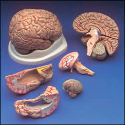 anatchart,model,brain,arteries,cranial,nerve,dissectable,part,cerebellum,brain,stem,lobe