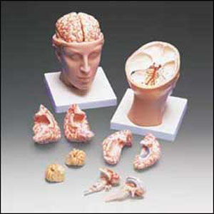 anatchart,model,head,brain,parts,dissectable,cerebral,occipital,temporal,lobes,dura,cranial,nerves,arteries