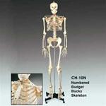 anatchart,model,skeleton,bones,landmarks,lifesize,anatomy,skull,ribcage,spine,vertebrae