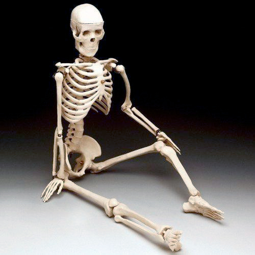 anatchart,model,skeleton,bones,bucky,4th,fourth,quality,arms,legs,jointed,jaw,imperfect,discolored,unfinished