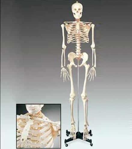 anatchart,model,skeleton,bones,nervebranches,vertebral,artery,herniated,lumbar,disc,skull,movable,jaw,calvarium,suture,lines,teeth