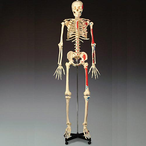 anatchart,model,skeleton,bones,landmarks,foot,muscles,anatomy,leg,replica,articulate,bendable,dissectable,tibia,fibula,ankle