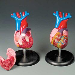 anatchart,model,heart,circulatory,dissectable,part,aorta,ventricle,chamber