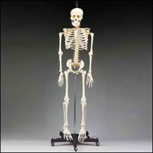 anatchart,model,skeleton,bones,spine,vertebrae,nerves,artery,articulated,skull,ribs,torso,pelvis,arms,legs,humerus,femur,tibia,fibula,radius,ulna,hands,feet,jaw