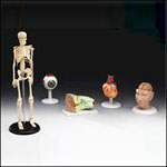 anatchart,model,set,skeleton,eye,ear,brain,heart,head,iris,pelvis,torso