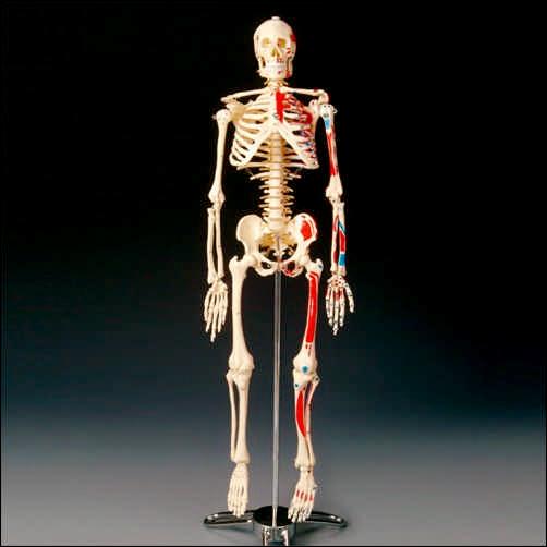 anatchart,model,skeleton,bones,painted,muscle,originis,insertions,skull,arms,legs