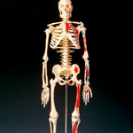 anatchart,model,skeleton,bones,painted,muscle,originis,insertions,skull,arms,legs