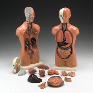 anatchart,model,sexless,torso,dissectable,part,head,brain,lung,heart,liver,intestine,genitalia,male,female