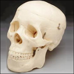anatchart,model,skull,jaw,foramen,styloid,occipital,sphenoid,ethmoid,vomer,mandible,parietal,temporal,palantine,nasal concha,maxilla,teeth,lacrimal,zygomatic,nasal