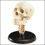 anatchart,model,bone,skull,cranium,jaw,teeth,nasal