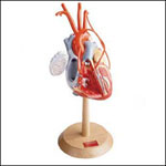 anatchart,model,heart,vessels,coronary,ventricle,dissectable
