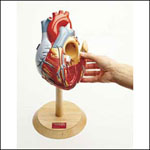 anatchart,model,heart,vessels,coronary,dissectable,parts