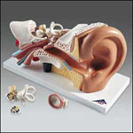 anatchart,model,ear,hearing,removable,parts,eardrum,hammer,anvil,stirrup,cochlea,aduitory,nerve