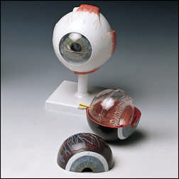 anatchart,model,eye,iris,pupil,parts,retina,vitreous,humor,dissectable