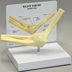 anatchart,model,elbow,joint,humerus,radius,ulna,annular,ligament