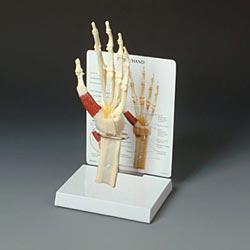 anatchart,model,hand,wrist,bones,metacarples,ulna,radius,arm,forearm,phalanges,thumb,metacarpal,ligaments,thenar,palmar,carpal,nerve,digitorum,superficialis,triquetrum,pisiform,hamate,profundus,digitorum,palmaris,longus,interosseous