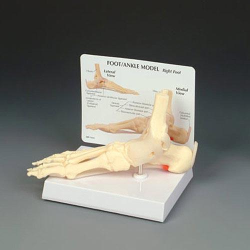 anatchart,model,foot,bones,tibia,fibula,ankle,toe,platar,calcaneonavicular,ligament,fascitis,calcaneus,calcaneal,achilles,tendon,deltoid,collateral,aponeurosis,cuneiform,phalanges,cuboid,navicular,metatarsal