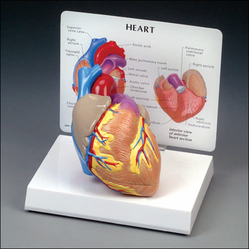 anatchart,model,heart,vessels,coronary,ventricle,dissectable,part,chamber,valve