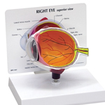 anatchart,model,eye,retina,optic,disk,nerve,choroid,vessels,iris,cornea,lens,removeable,part,dissectable