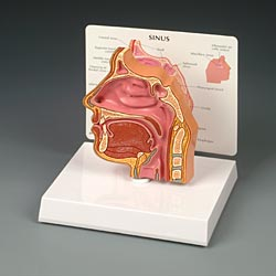 anatchart,model,cutaway,head,face,sinus,nose,nasal,passages,cavity,palate,uvula,eustachian,pharyngeal,tonsil,ethmoid,maxillary,cavities