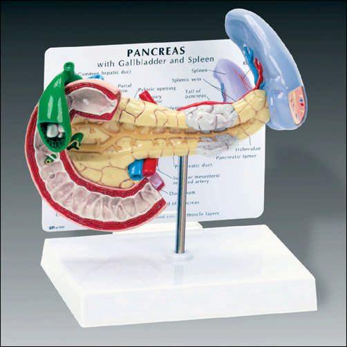 anatchart,model,abdominal,pancreas,spleen,gallbladder,cancer,gallstone,ruptured,duodenal,ulcer