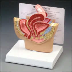 anatchart,model,reproductive,female,uterus,vagina,anus,ovary,uterine,tube