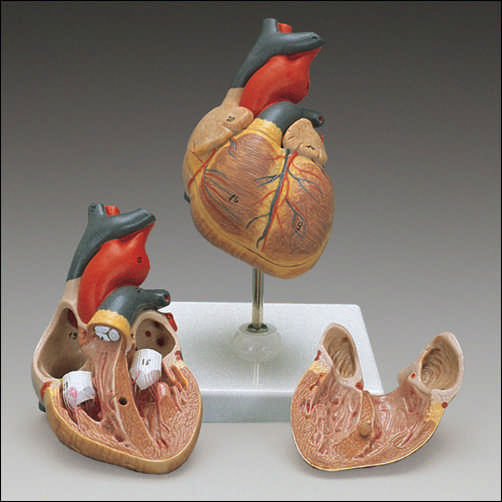 anatchart,model,heart,child,children,dissectable,part,cardiac,circulatory,valve,ventricle