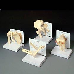 anatchart,model,skeleton,bones,landmarks,joint,cartilage,bone,hip,femur,scapula,humerus,clavicle,radius,ulna,tibia,fibula