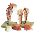 anatchart,model,larynx,muscles,thyroid,jaw,throat,submandibular,gland,cartilage