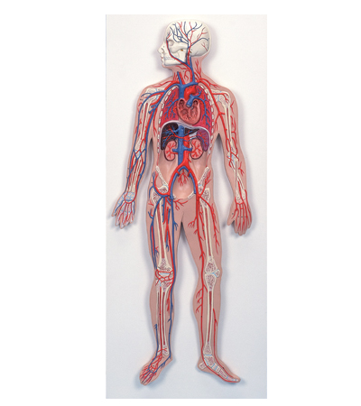 anatchart,model,vessels,cross-section,circulatory,heart,arteries
