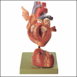 anatchart,model,heart,vessels,ventricles,atria,dissectable,stand,parts