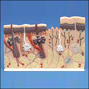 anatchart,model,skin,hair,follicles,sebaceous,gland,receptor,nerve,vessel